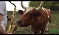 Karvės klauso saksofono