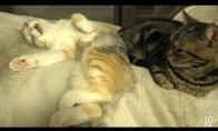 Miela katė kalba per miegus