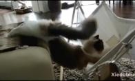 Katė bando atsigulti į hamaką