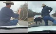 Kaubojus gaudo karvę sėdėdamas ant važiuojančios mašinos