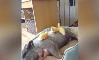 Ančiukai ilsisi ant kiaulės