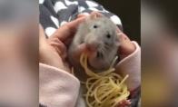 Žiurkė dievina spagečius