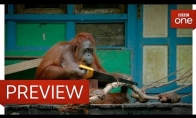 Orangutangai išmoksta pjaustyti medieną