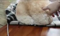 Šuniukas su labai pūkuotu užpakaliu