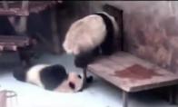 Panda apkakoja savo broliui galvą