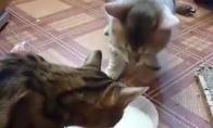Ištroškusios katės