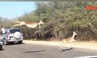 Antilopės sukelia kamštį