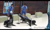 Jūrų liūtai žaidžia tinklinį