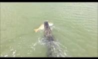 Aligatorius iš po nosies nugvelbia žuvį