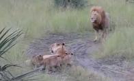 Liūtukai bando riaumoti kaip jų tėtis
