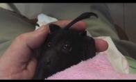 Mažas šikšnosparniukas pirmą kartą paragauja vaisiaus