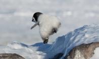 Pingvinai kerėplos
