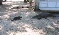 Katė nuveja du aligatorius