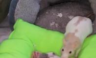 Mama žiurkė neša vaikus miegot