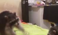 Meškėnas žaidžia su muilo burbulais
