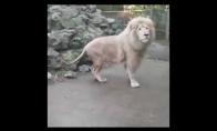 Liūtas išsigąsta burbulo