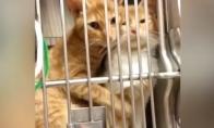Brolis katinas guodžia savo sesę pas veterinarą