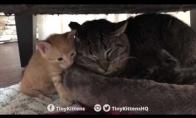 Senas laukinis katinas susipažįsta su mažais kačiukais