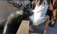 Jūrų liūtas pagrobia mergaitę
