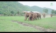 Drambliai bėga pasisveikinti su nauju drambliuku