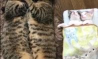 Pati mieliausia kačių šeima pasaulyje