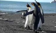 Juokinga pingvinų kova