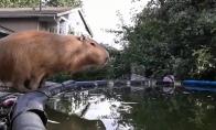 Kapibara - ekspertas naras