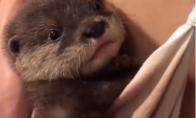 Mažytė ūdra galvoja, kad ji kengūra