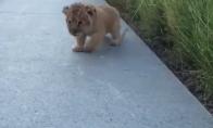 Liūtukas mokosi riaumoti
