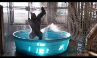 Gorilos linksmybės baseine