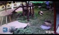 Kvailas turistas užeina į pandos narvą