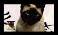Sostų karus dainuoja katė
