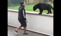 Draugiškas juodas jaguaras