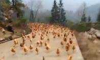 Viščiukų maištas