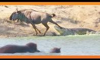 Begemotai padeda išsigelbėti antilopei
