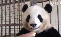 Panda skaniai valgo bambuką
