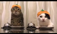 Katės, išmokytos prašyti skanėstų