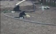 Kačiukas prieš ančiuką