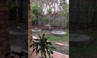 Šokli kengūra