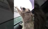 Meškėnas bando gaudyti lietaus lašus
