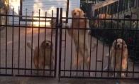 Šunys pasitinka grįžtantį šeimininką