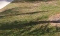 Aligatorius su žuvimi golfo aikštyne