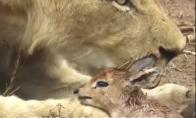 Liūtė išgelbėjo antilopę