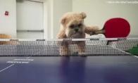 Šuo nemoka žaisti stalo teniso