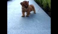 Liūtukas bando riaumoti
