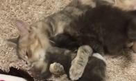 Sunkus mamos katės darbas