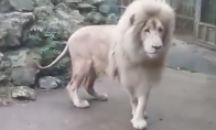 Liūtas bijo burbulo