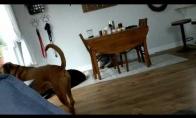 Susisinchronizavę šunys