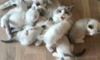 Katė su daug kačiukų