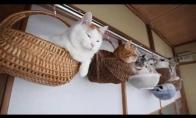 Svogūninės katės